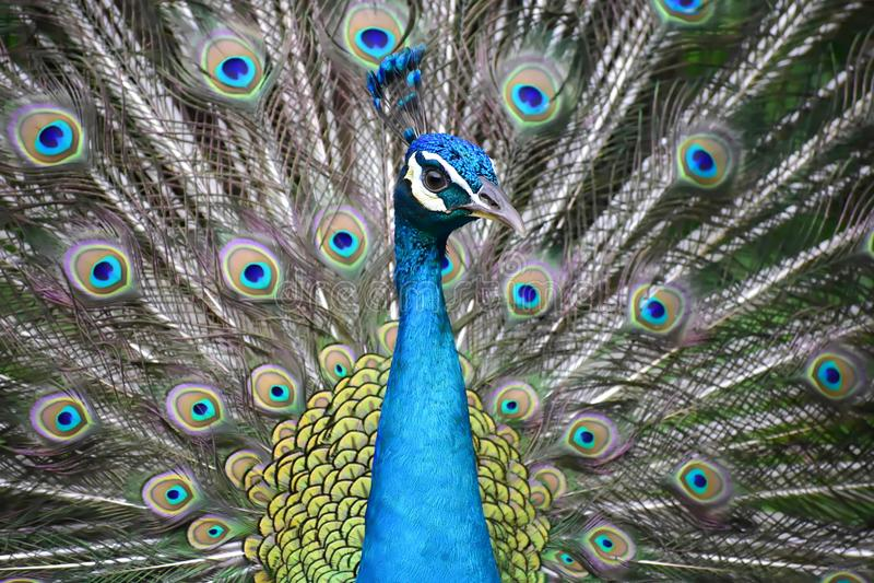 Pavo real azul con las plumas coloridas imagenes de archivo