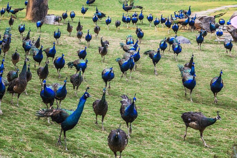 Pavo real azul de Xishuangbanna foto de archivo libre de regalías