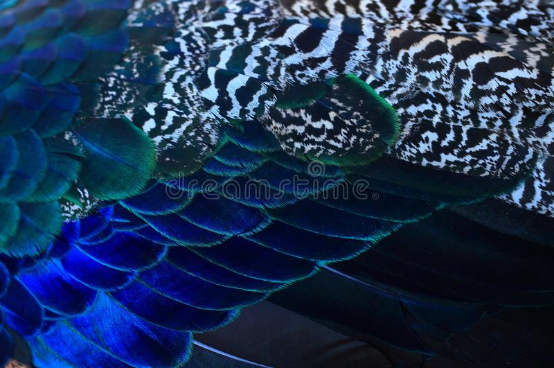 Pavo real Ciérrese para arriba de fondo hermoso de las plumas del pavo real varón imágenes de archivo libres de regalías