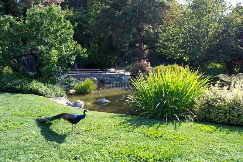 Pavo real con la charca y el jardín del paisaje fotografía de archivo