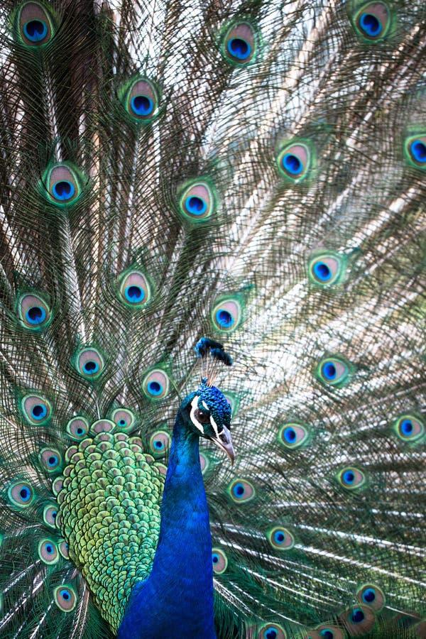 Pavo real con las plumas hacia fuera fotos de archivo