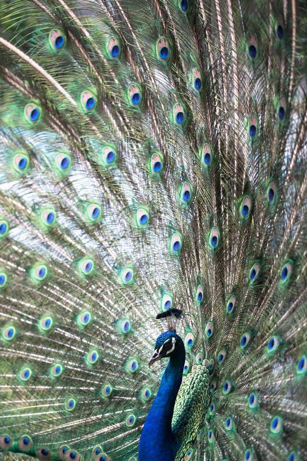 Pavo real con las plumas hacia fuera imágenes de archivo libres de regalías