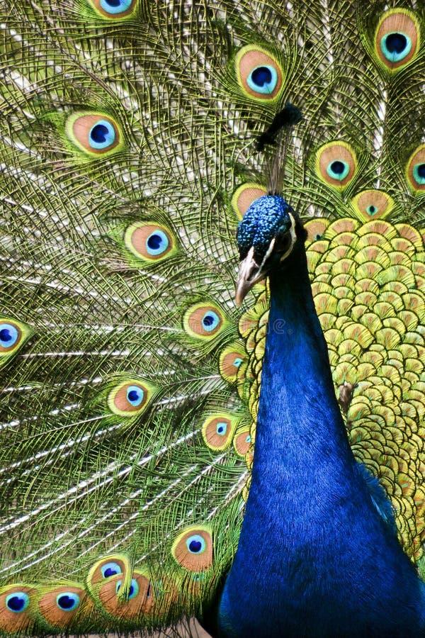 Pavo real del pájaro del paraíso imagenes de archivo