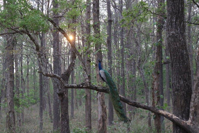Pavo real en el bosque que se sienta en árbol imagen de archivo libre de regalías