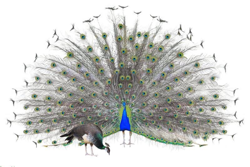 Pavo real indio masculino hermoso que exhibe las plumas de cola aisladas en el fondo blanco, vista delantera fotos de archivo libres de regalías