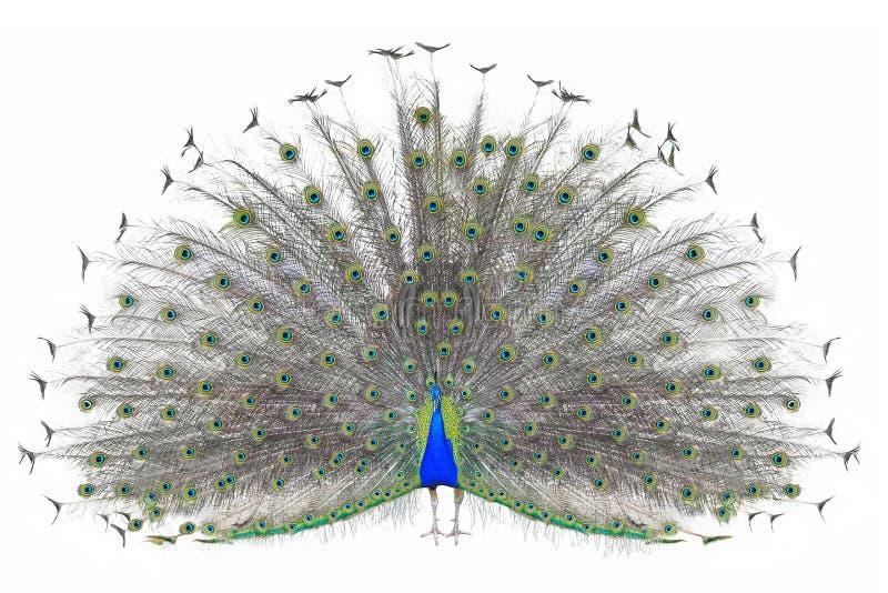 Pavo real indio masculino hermoso que exhibe las plumas de cola aisladas en el fondo blanco, vista delantera imagen de archivo