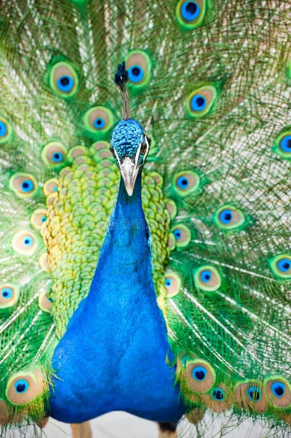 Pavo real indio masculino que muestra sus plumas imagen de archivo