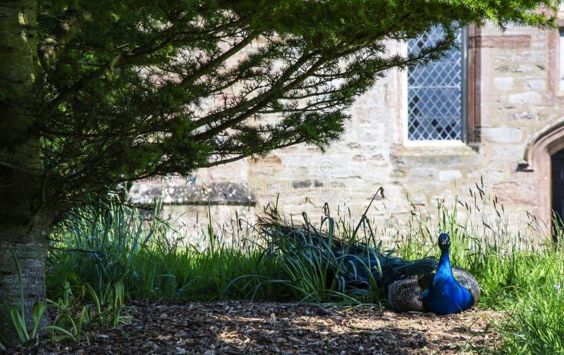 Pavo real masculino que descansa debajo de árbol fotografía de archivo libre de regalías