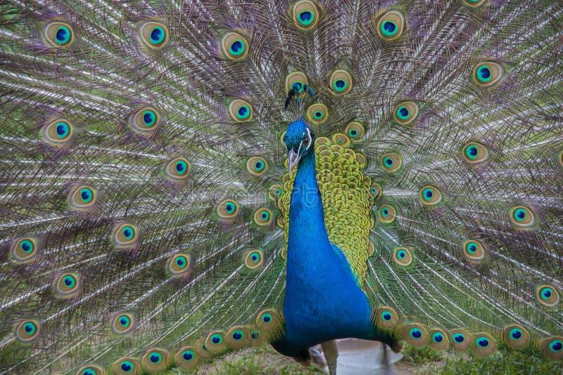 Pavo real Pájaro hermoso fotografía de archivo libre de regalías