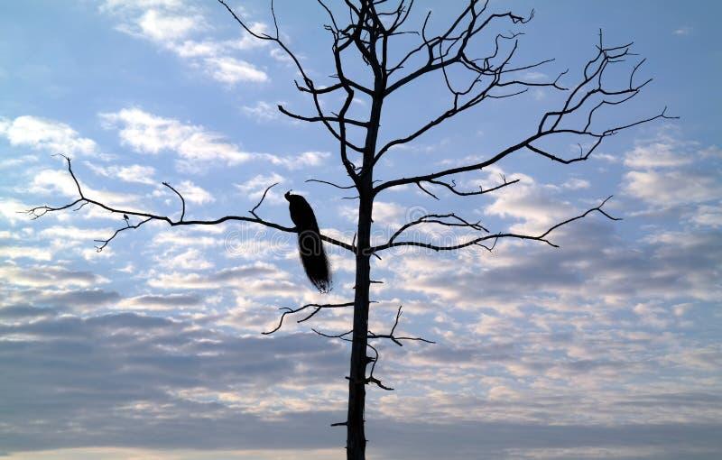 Pavo real que duerme en un árbol foto de archivo