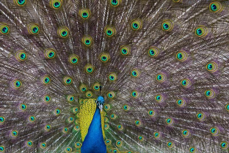 Pavo real Textura de plumas coloridas fotos de archivo