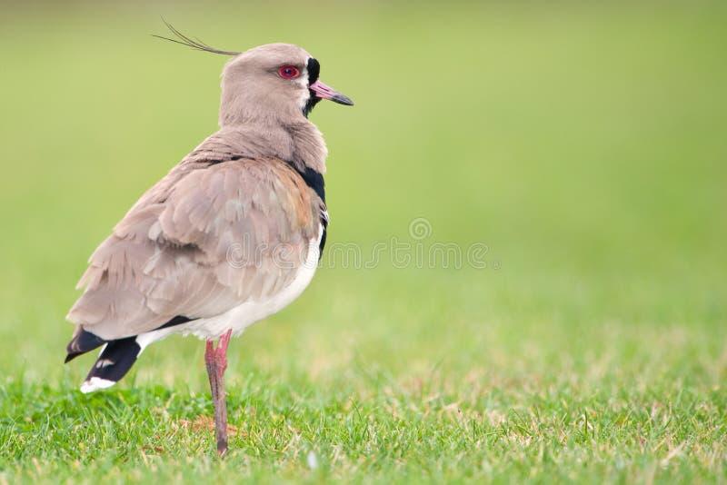 Pavoncella del sud (chilensis del Vanellus). fotografie stock