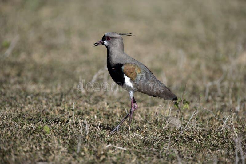Pavoncella del sud, chilensis del Vanellus fotografie stock