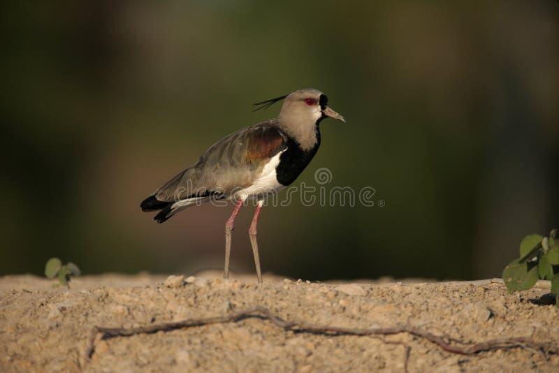 Pavoncella del sud, chilensis del Vanellus fotografia stock libera da diritti