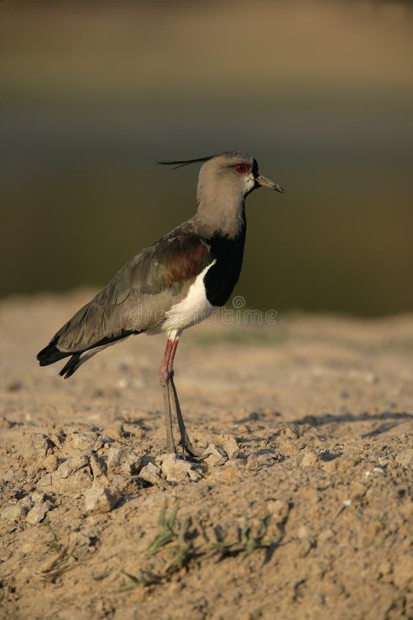 Pavoncella del sud, chilensis del Vanellus fotografia stock