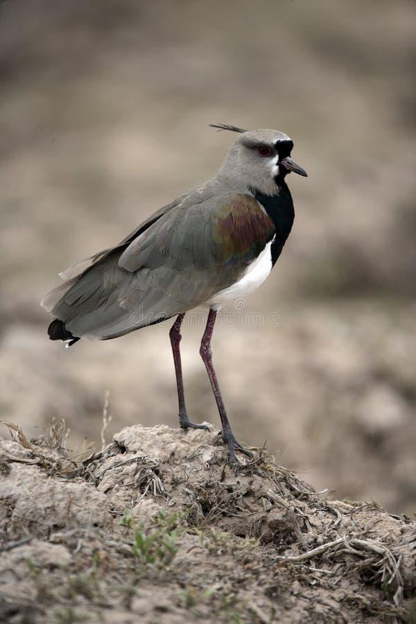 Pavoncella del sud, chilensis del Vanellus fotografie stock libere da diritti