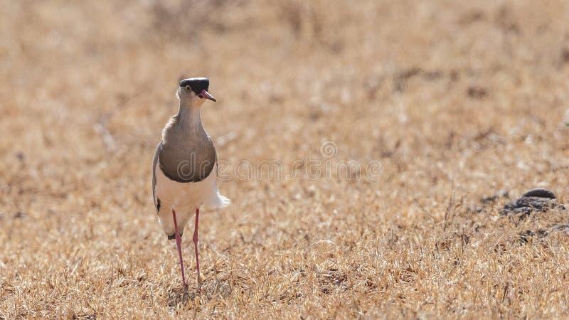 Pavoncella incoronata nel campo arido fotografia stock
