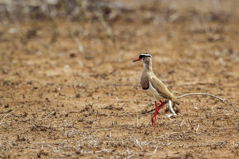 Pavoncella incoronata nel parco nazionale di Kruger, Sudafrica fotografia stock