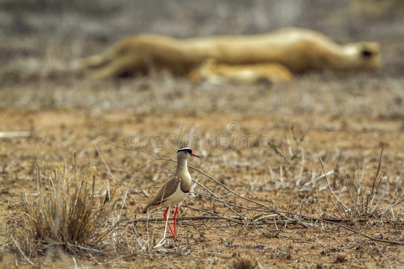 Pavoncella incoronata nel parco nazionale di Kruger, Sudafrica immagine stock