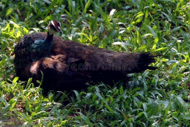 Pavone asiatico che si rilassa sul campo verde nel parco indiano del sud degli uccelli fotografia stock libera da diritti