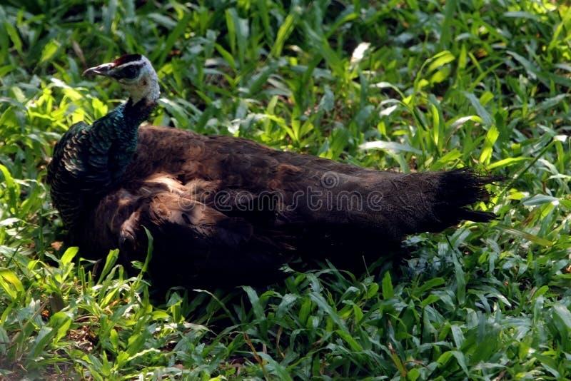 Pavone asiatico che si rilassa sul campo verde nel parco indiano del sud degli uccelli fotografia stock