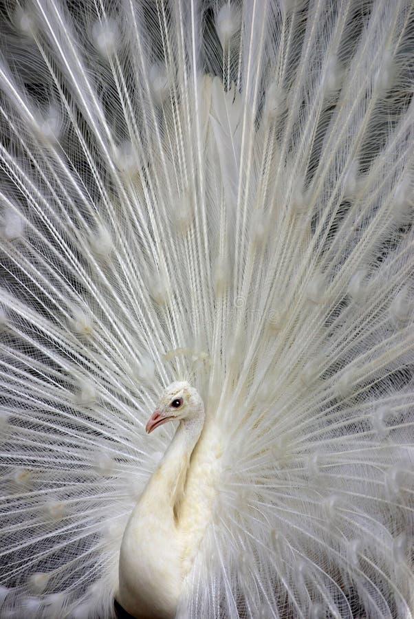 Pavone bianco 2 fotografia stock. Immagine di crowns, ventilatori ...