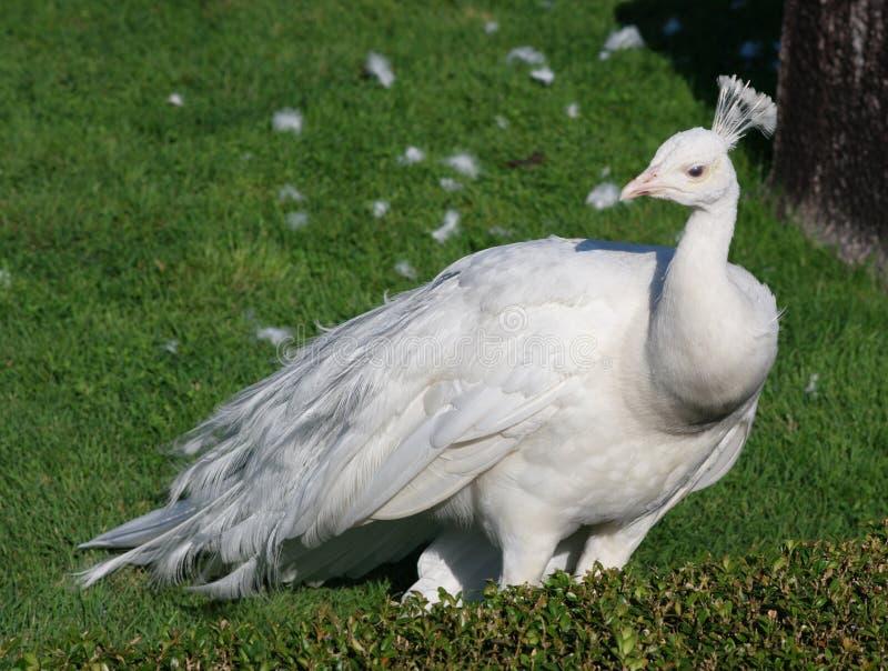 Pavone bianco su erba fotografia stock. Immagine di singolo - 15858348