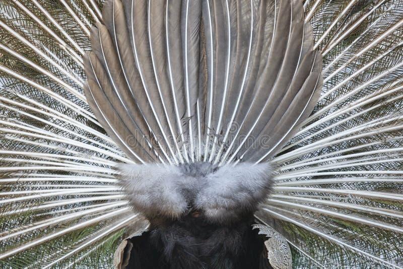 Pavone con le piume variopinte di diffusione Lato posteriore fotografia stock