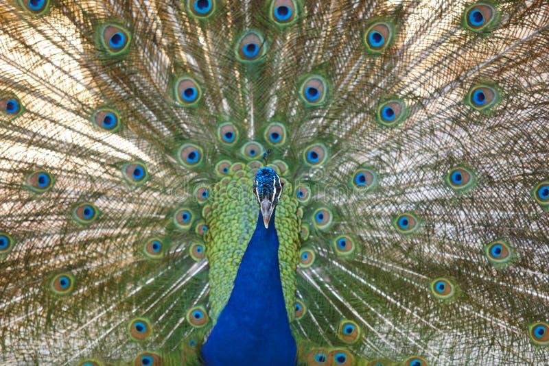 Pavone con le piume variopinte di diffusione Priorità bassa animale immagini stock libere da diritti