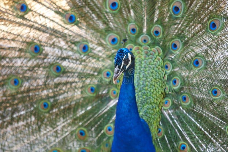 Pavone con le piume variopinte di diffusione Priorità bassa animale immagine stock libera da diritti