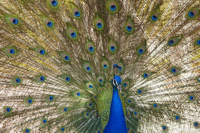 Pavone con le piume variopinte di diffusione Priorità bassa animale fotografia stock libera da diritti