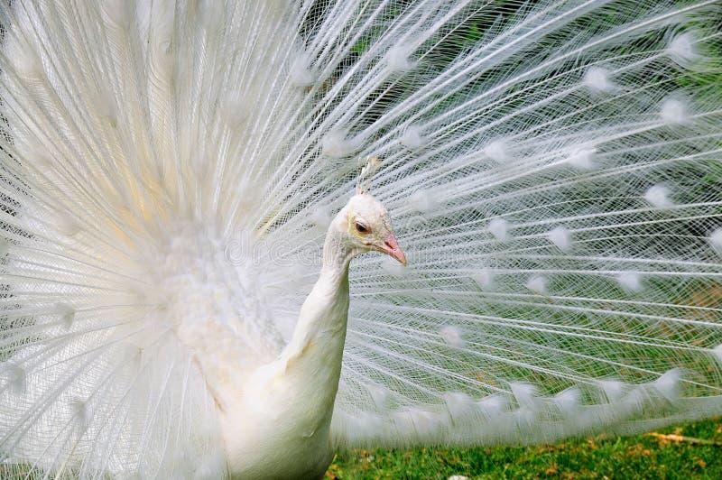 Pavone dell'albino fotografie stock