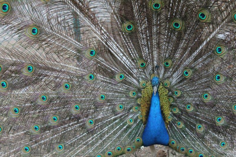 Pavone e le sue piume lussuose fotografia stock