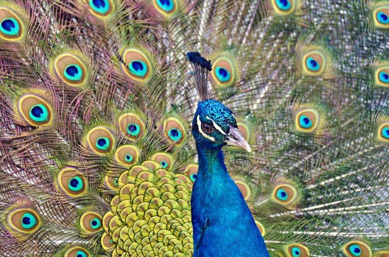 Pavone indiano blu maschio che visualizza il treno fotografie stock