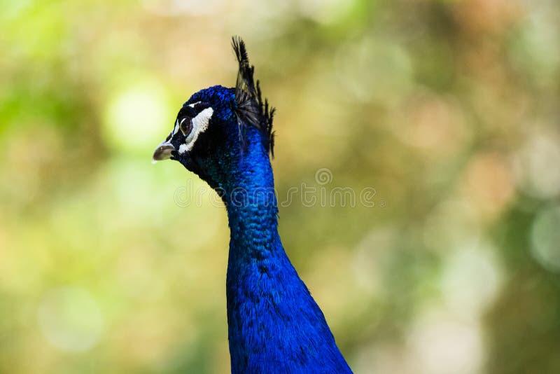 Pavone indiano, uno degli animali a migliore eleganza dell'associazione con lo stile di vita nel selvaggio I maschi, hanno chiama immagine stock