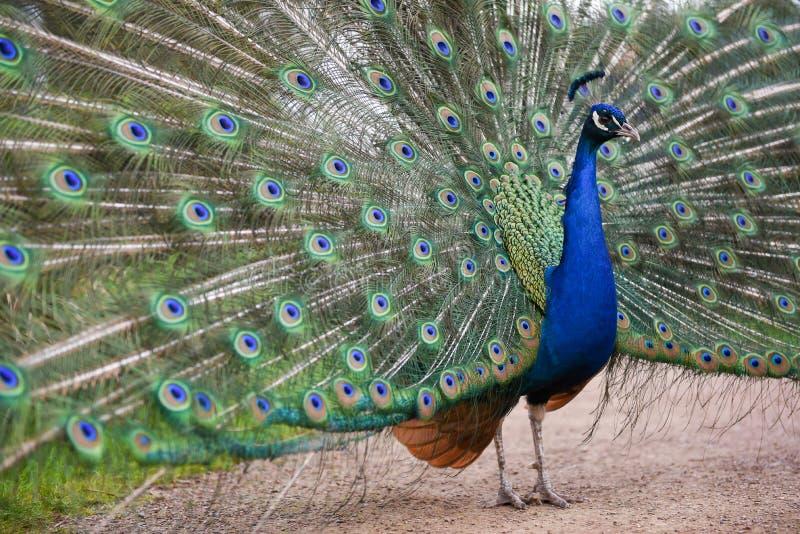 Pavone maschio, pavone con esposizione luccicante della piuma del punto dell'occhio fotografia stock libera da diritti