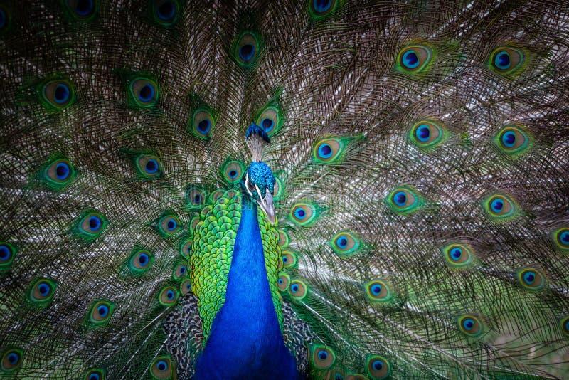 Pavone maschio con la coda aperta fotografie stock libere da diritti