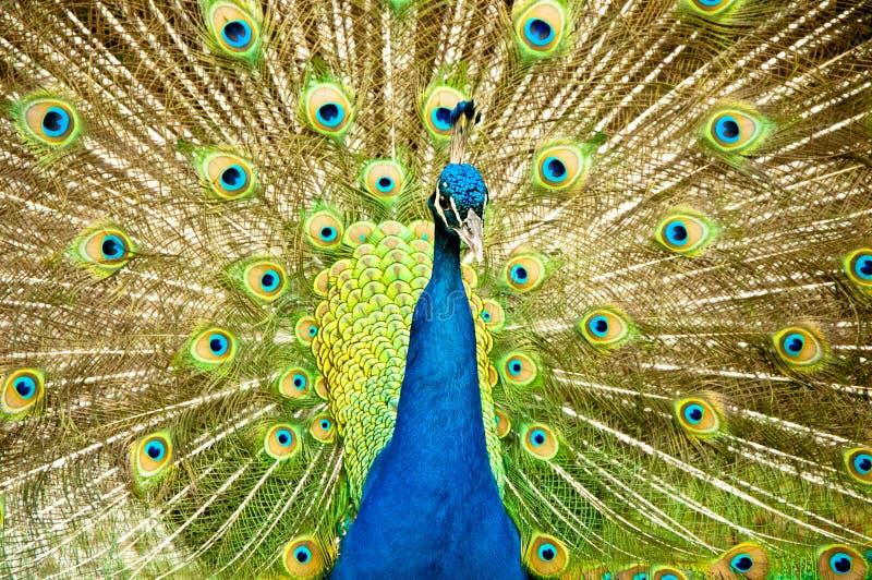 Pavone reale immagine stock immagine di nave peacock - Immagini pavone a colori ...