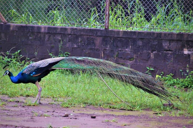 Pavone reale dell 39 uccello fotografia stock immagine di - Immagini pavone a colori ...