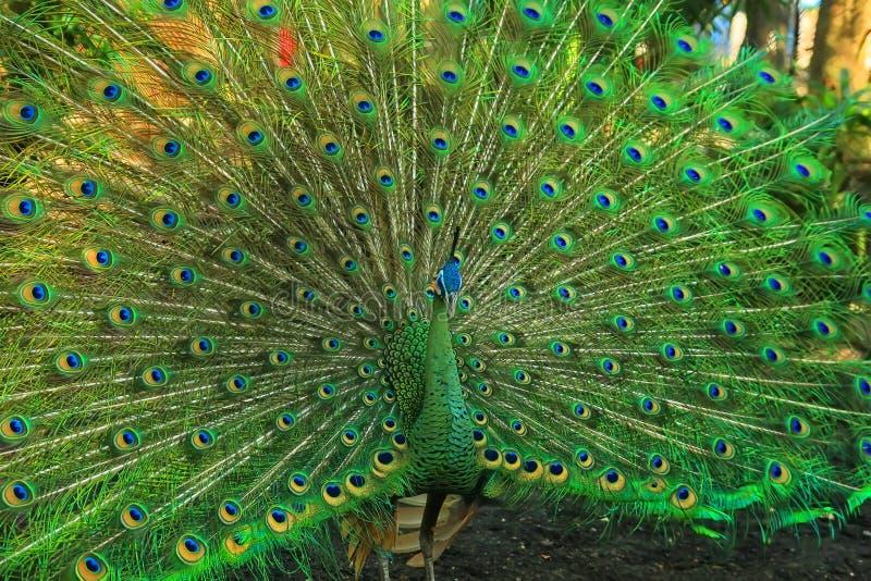 Pavone verde con una bella coda fotografia stock libera da diritti