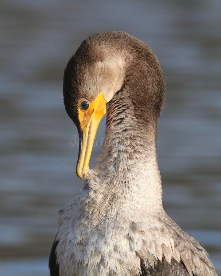Pavoneggiarsi di Cormorant