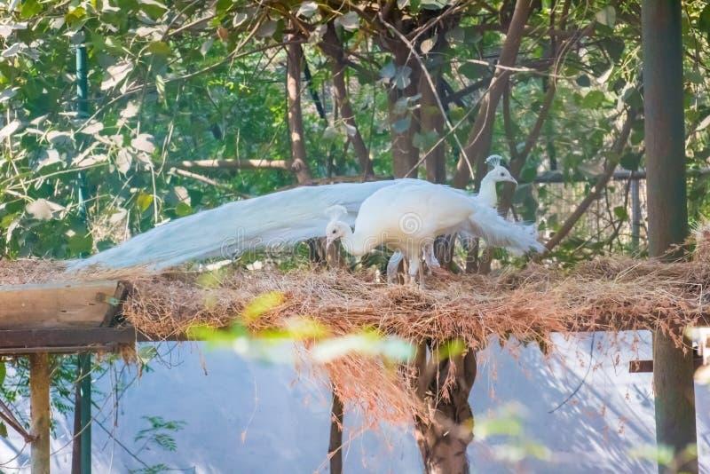 Pavoni indiani nel colore bianco fotografie stock