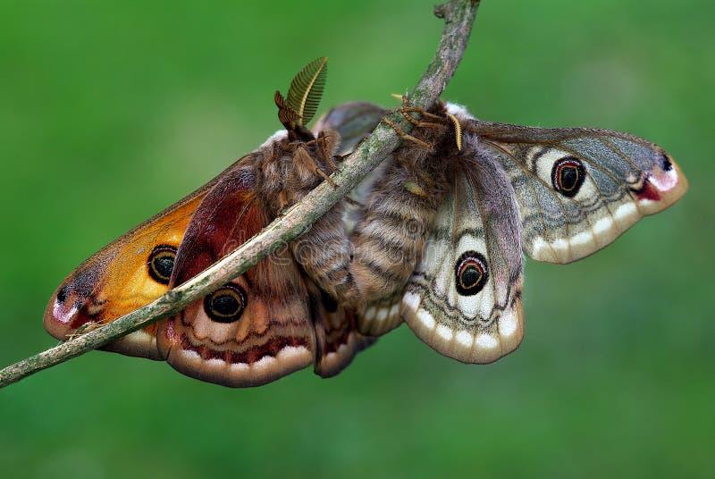 Pavoniella de Saturnia dans l'amour photos libres de droits