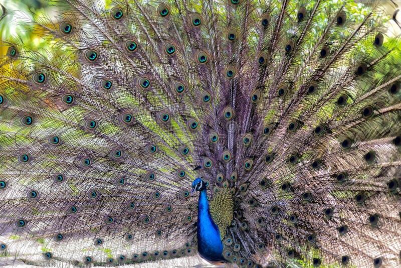 Pavoprov i en botanisk trädgård i Lissabon royaltyfria foton