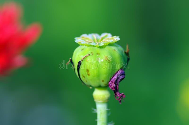 Pavot à opium image stock