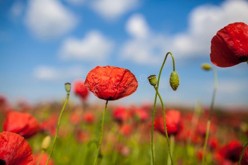 Pavot à opium photo libre de droits