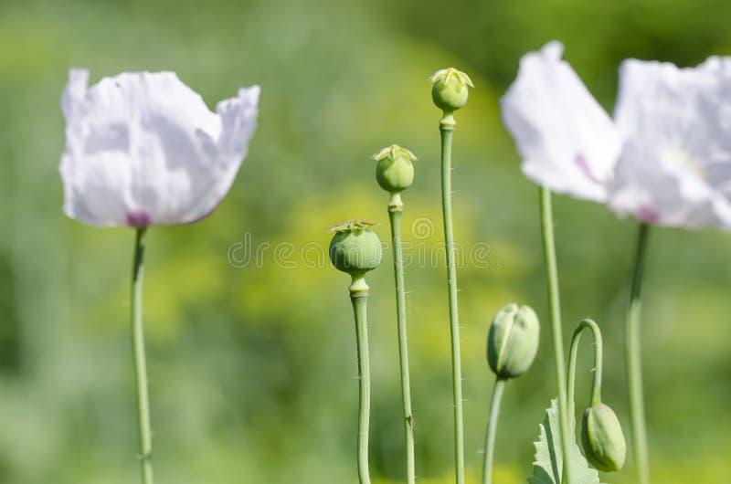 Pavot à opium photographie stock