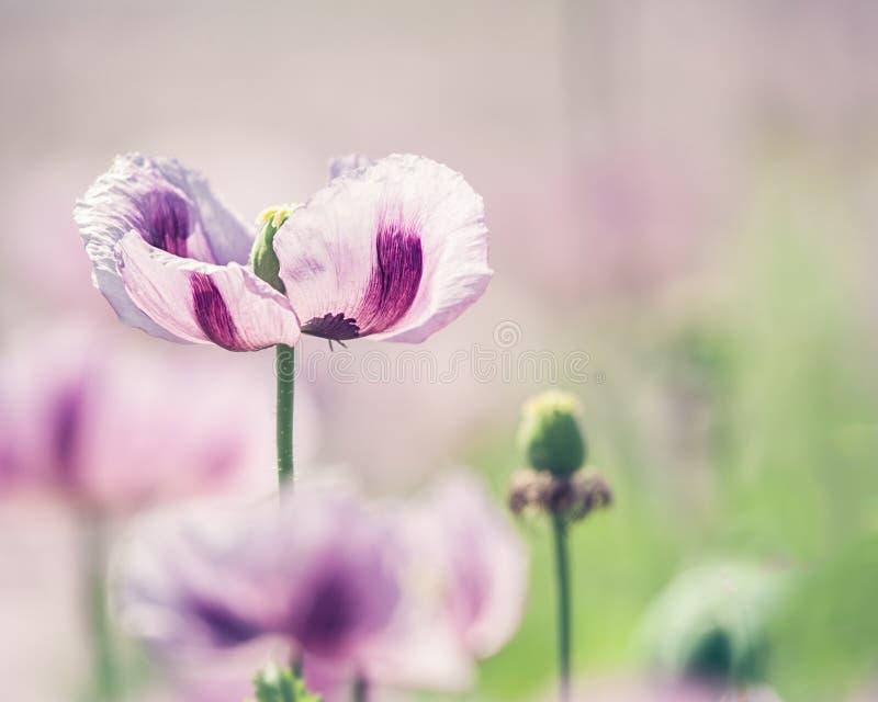 Pavot à opium photos stock
