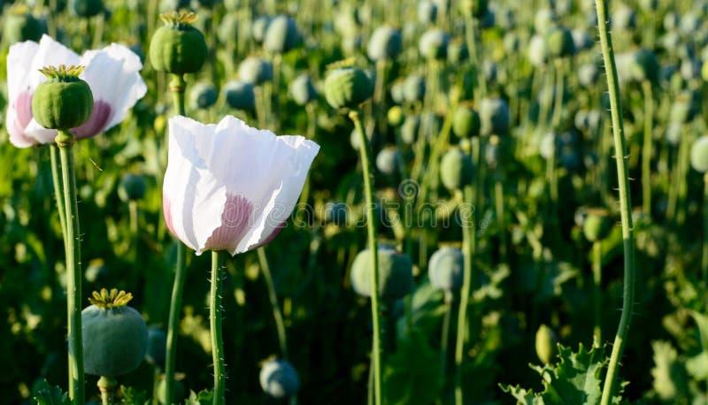 Pavot à opium de Papaver somniferum photos libres de droits