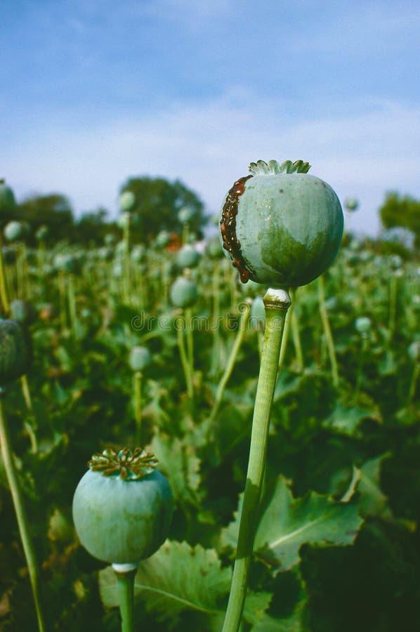 Pavot à opium, gisement d'opium, [Papaver somniferum] photos libres de droits